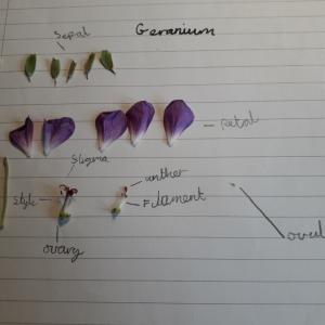 fraser-plant